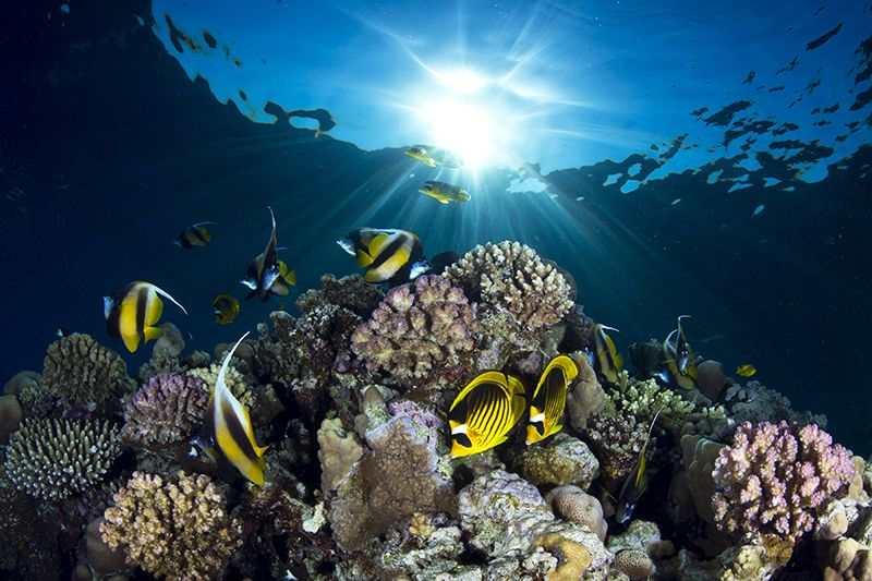7. Raccoon butterfly fish and angelfish by Pietro Cremone