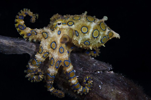 9. The greater blue-ringed octopus by Marcello DiFrancesco