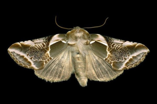 Beautifully Exotic Looking Species of Moths from Ottawa