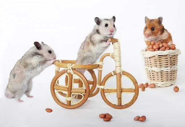 Still Life with Hamsters