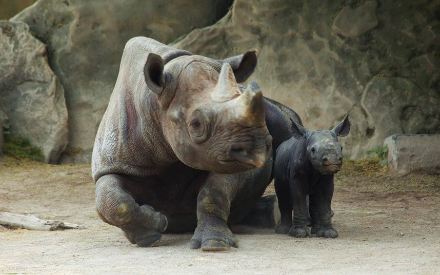 Rare black rhino calf with its mother