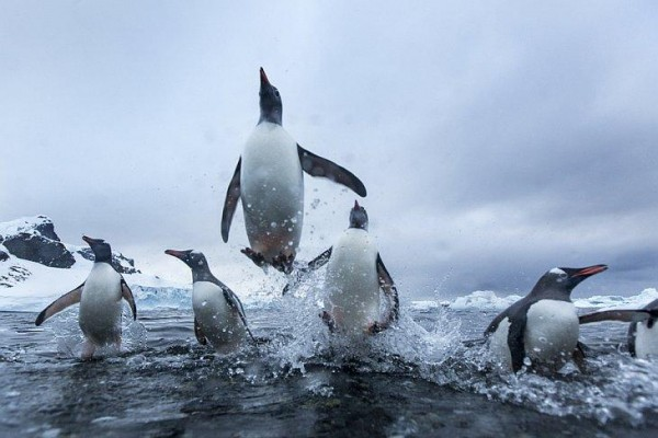 Penguins are the inhabitants of the sub-Antarctic islands