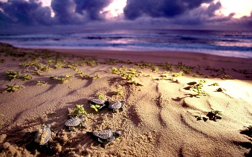 Newly minted leatherback turtles make their way through the east coast of South Africa