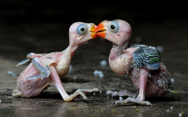 A pair of Indian parrots chicks