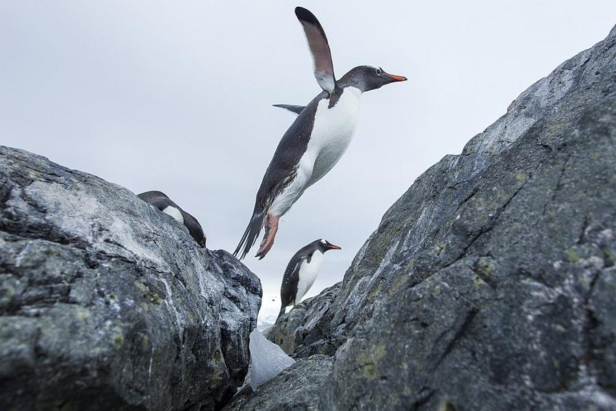 Penguins often attack leopard seals and killer whales