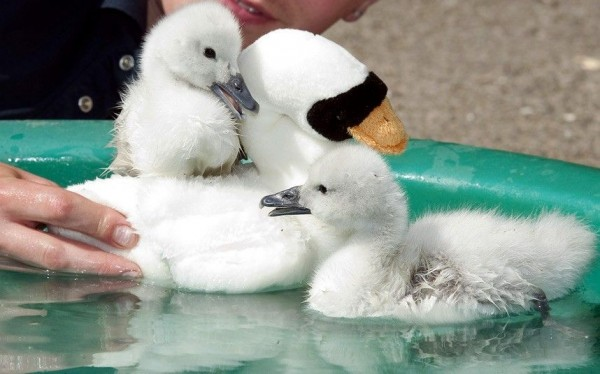 A pair of young swans hatched in an incubator