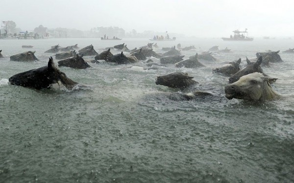 Chincoteague ponies swim across Assateague Channel during a heavy downpour in the 88th annual Chincoteague pony crossing in the state of Virginia, USA