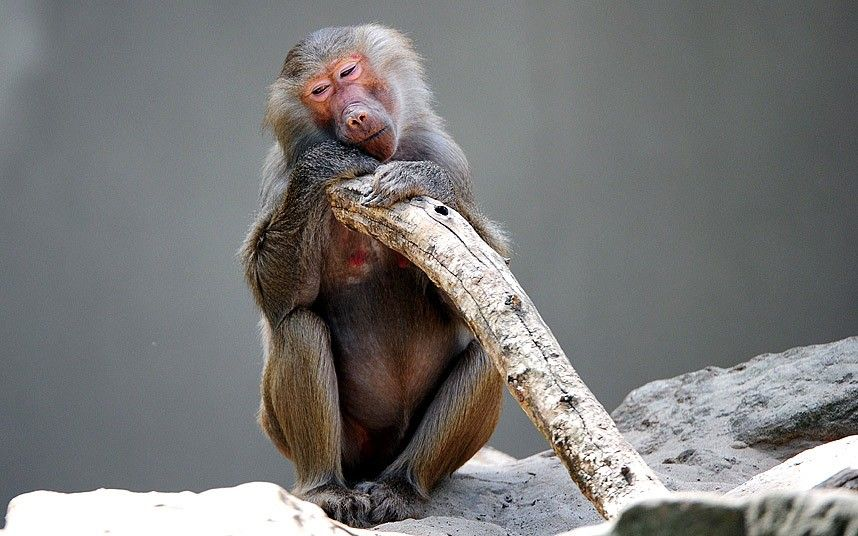 Tired baboon finds a shady spot in his enclosure at the Berlin zoo