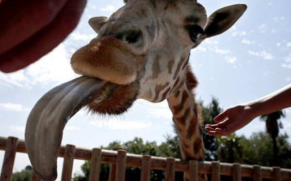 Giraffe sticks out his tongue from his enclosure at the Madrid Zoo