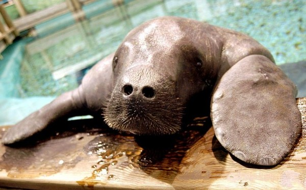 65-year-old Snooty, the world's oldest living manatee in captivity