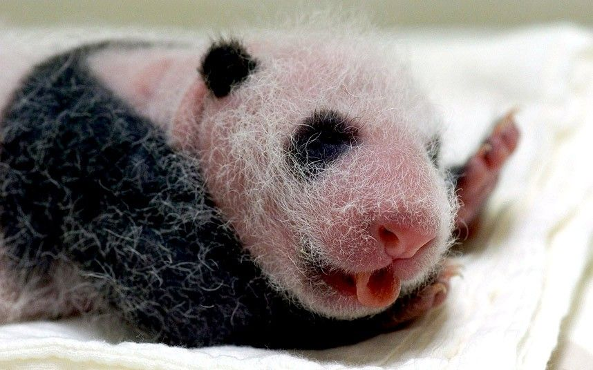A newborn panda cub welcomes the Prince of Cambridge at the Zoo Taipei, Taiwan
