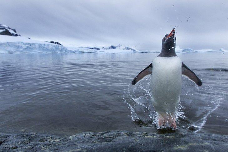 The average weight of male Penguins is nine pounds and females seven and a half