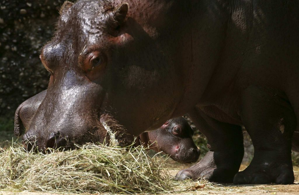 22-year-old Hippo courting his unnamed baby