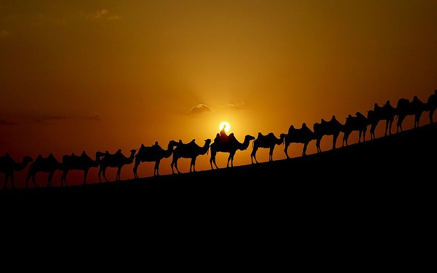 Camels are on the dunes of the desert Xiangshawan,
