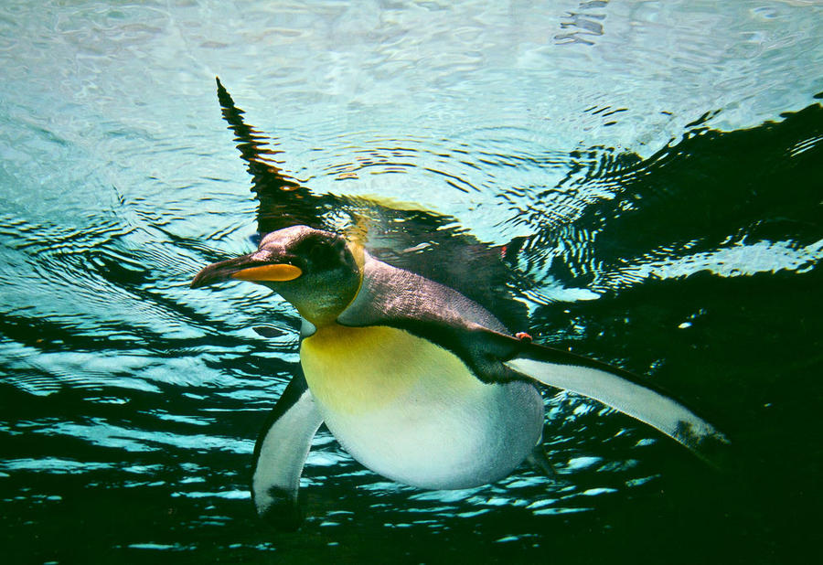 Most of his life penguins carried out in water and only rarely come to land.