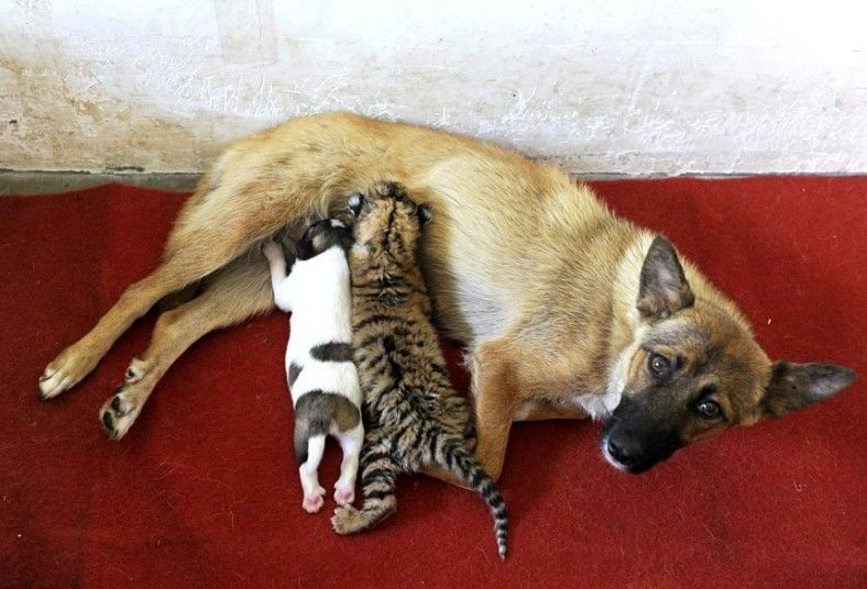 A dog feeds a 10-day cub and his puppy in a zoo in Hefei