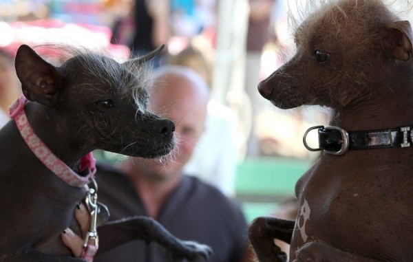 Two Chinese Crested dogs look on before the start of the 25th annual World's Ugliest Dog contest at the Sonoma Marin Fair on June 21, 2013 in Petaluma, California.