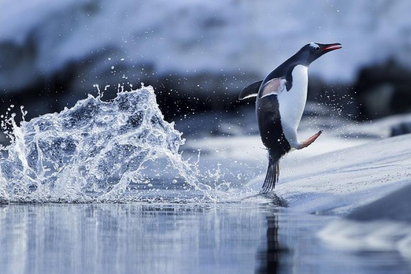 Penguin Playing in Water