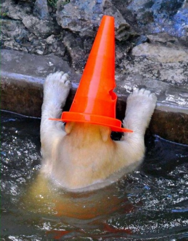 The eight-male polar bear