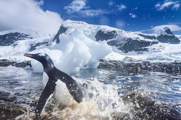 Nesting penguins are located in the rocky coastal ice-free areas