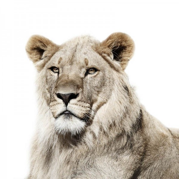 Beautiful Lion Portrait by Morten Koldby