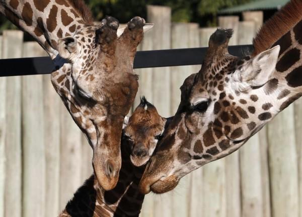 Giraffe dad and mum Jackie nurture their baby