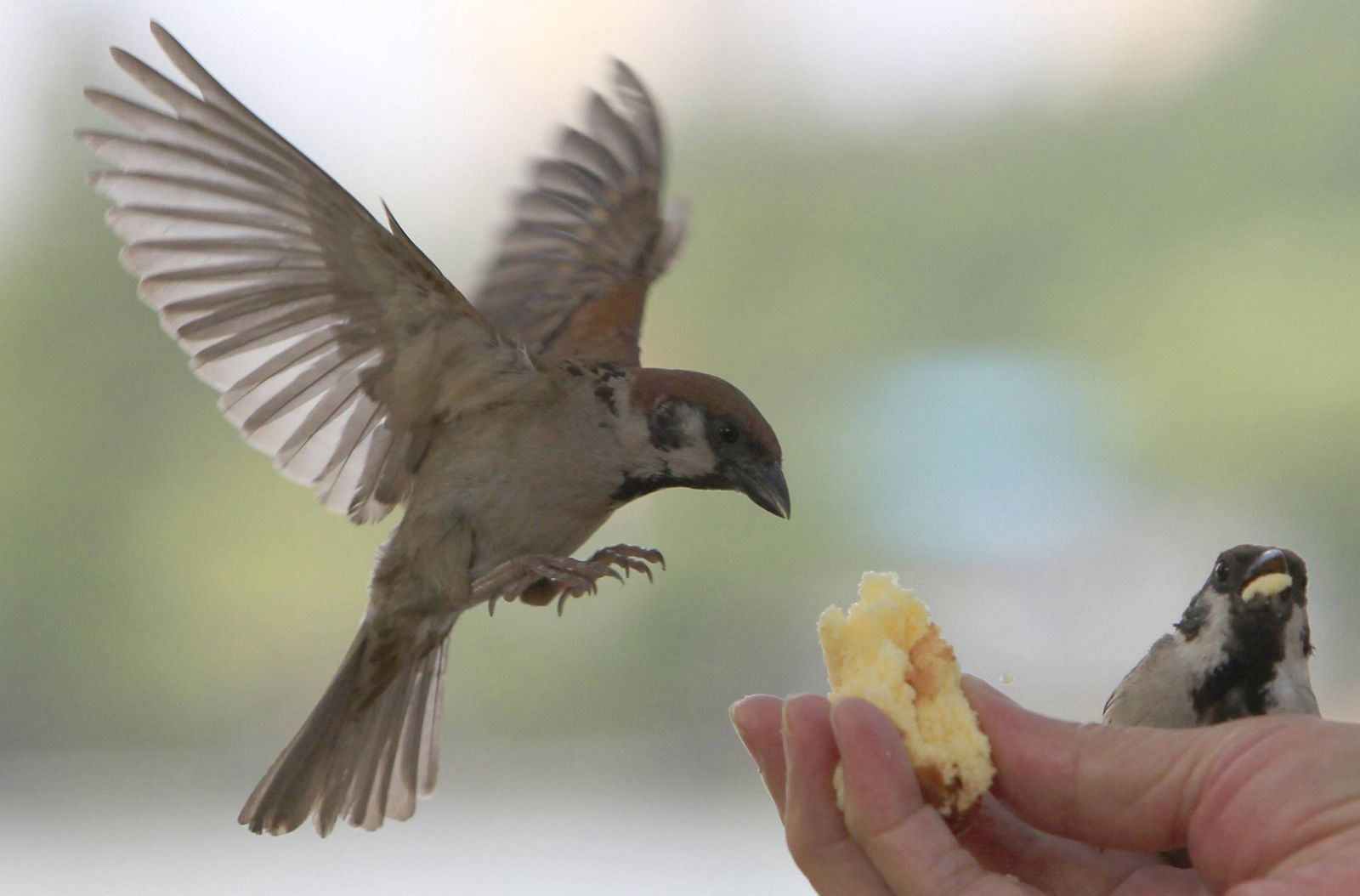 Feeding the brave sparrows in Ueno Park, Tokyo, Japan