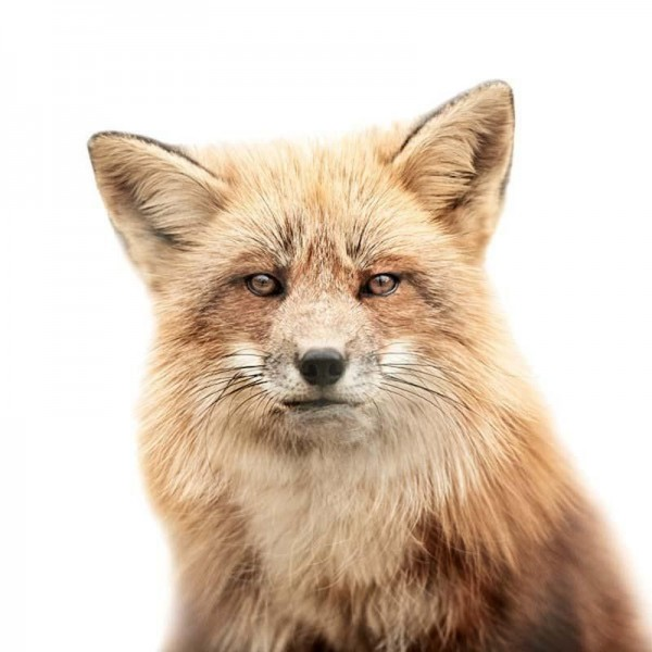 Fox Portraits by Morten Koldby