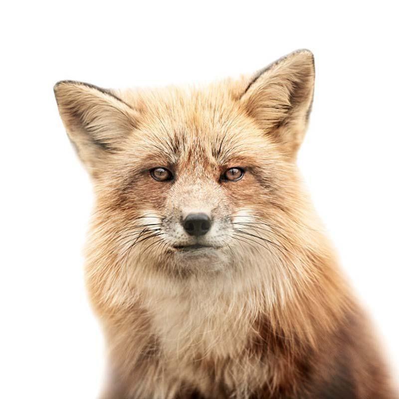 Fox Portraits by Morten Koldby