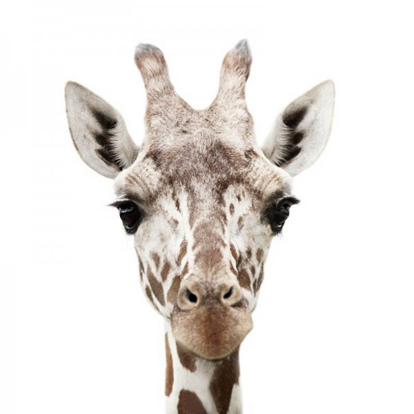 Giraffe Portrait by Morten Koldby