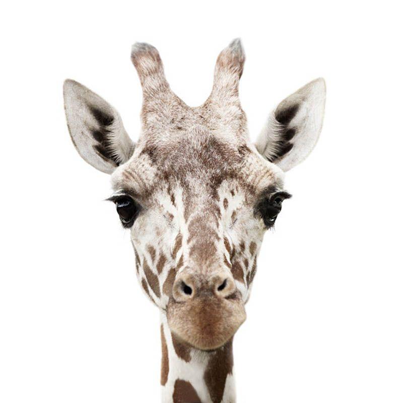 Giraffe Portrait by Morten Koldby