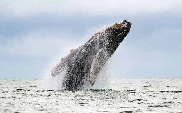Humpback whale jumping out of water in the Colombian Pacific coast