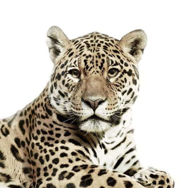 Leopard Portraits by Morten Koldby