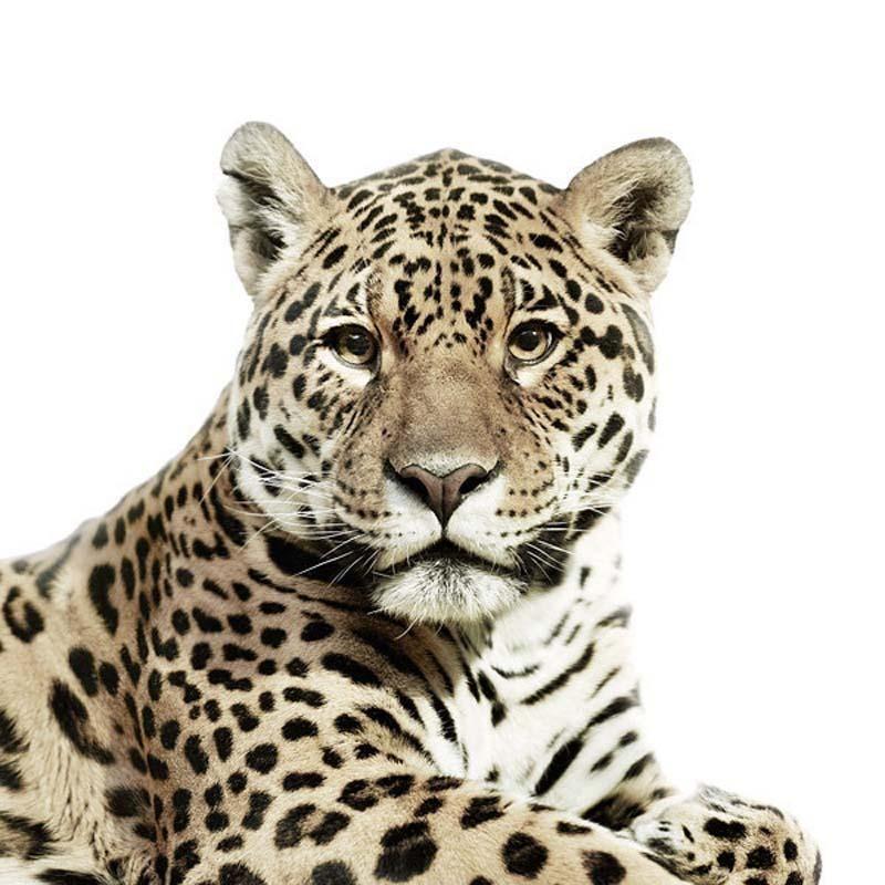 Leopard Portraits by Morten Koldby