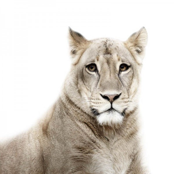Lion Portrait by Morten Koldby