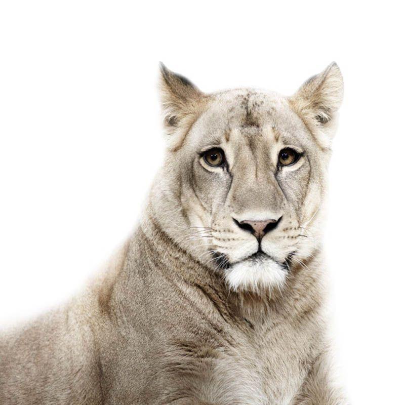 Lion Portrait by Morten Koldby