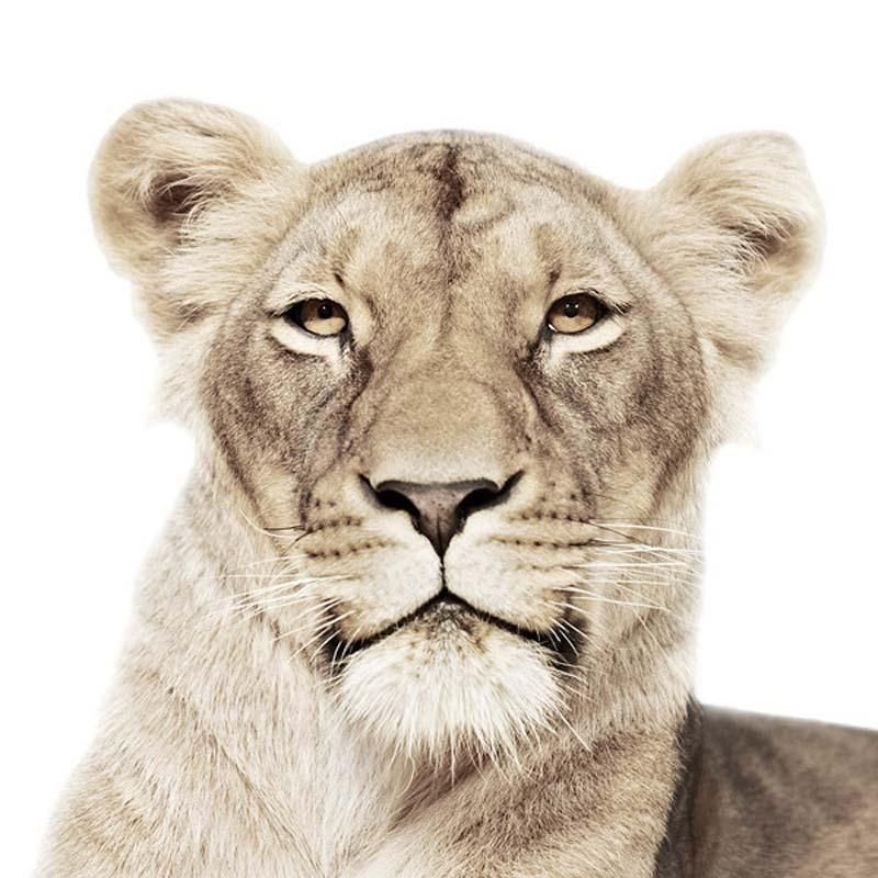 Lion Portraits by Koldby