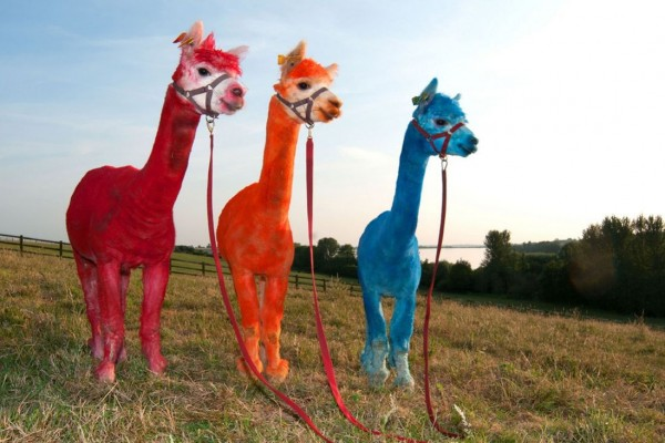 Merry trio color alpacas in Rugby, UK