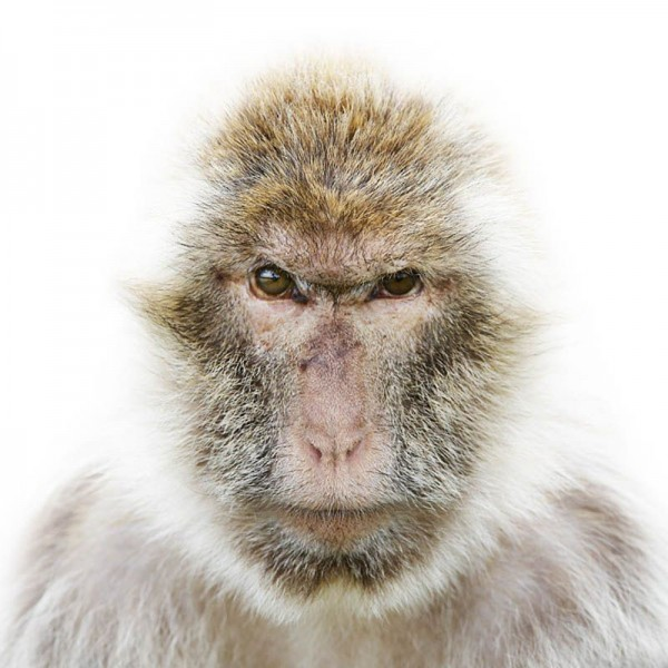 Monkey Portrait by Morten Koldby