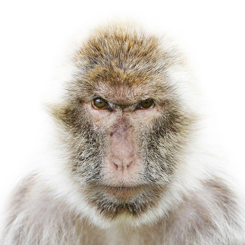 Monkey Portrait by Morten Koldby