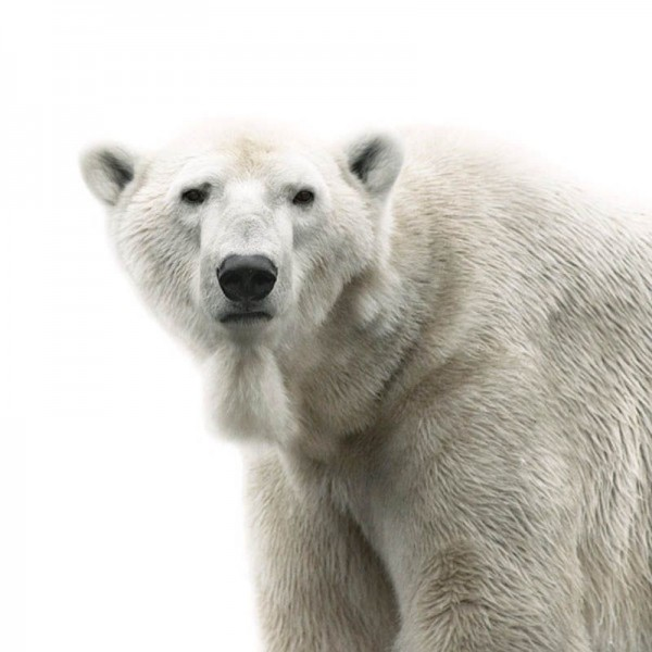 Polar Bear Portrait by Morten Koldby