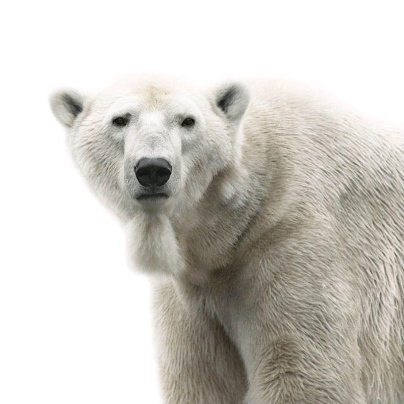 Polar Bear Portrait by Morten Koldby