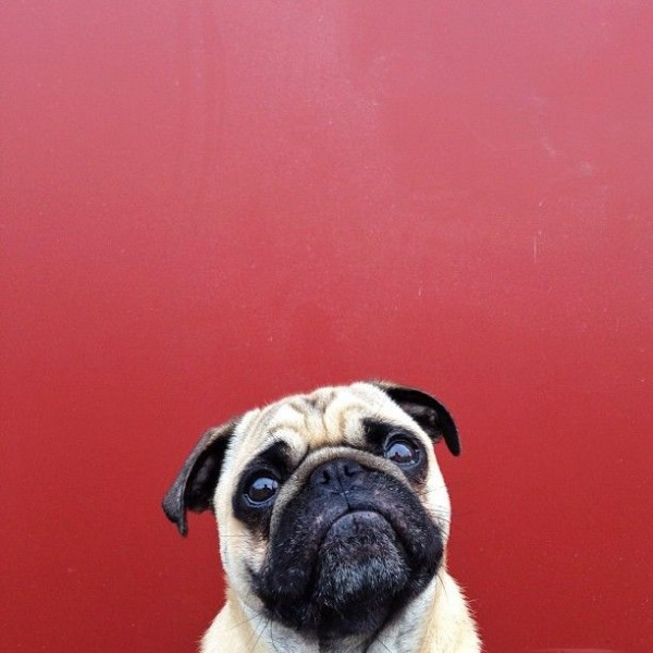 Pug Norm Photography