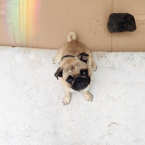 Meet the Charismatic Pug Norm