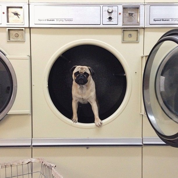 Meet the Charismatic Pug Norm