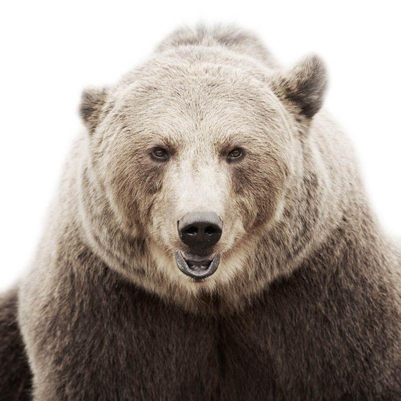 Smiling Bear Portrait by Morten Koldby