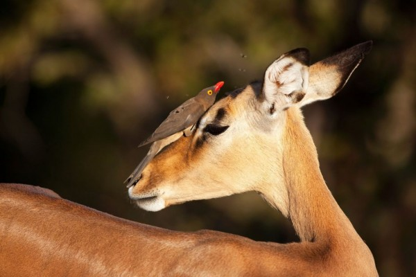 The brave bird on the face of impala in the Kruger National Park