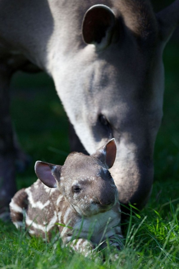 The unnamed baby tapir is basking in the sun with his family, Dublin Zoo, Ireland