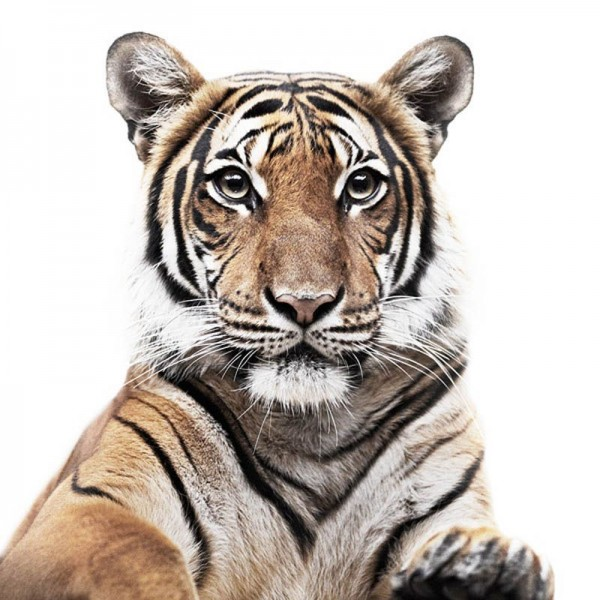 Tiger Portrait by Morten Koldby