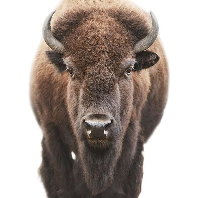 buffalo Portraits by Morten Koldby